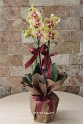 Beyaz çift dallı orkidenin masum güzelliği ile sevdiğinizi bugüne özel bir sürprizle mutlu etmek istemez misiniz?